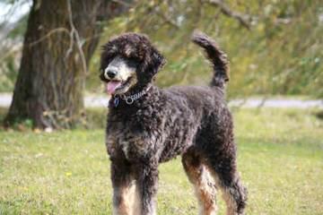 Moonstone Poodles - Dog Breeders