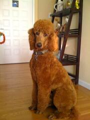 Standard Poodle And Labradoodle Puppies For Sale. - Dog and Puppy Pictures