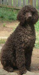 Bunne' Standard Poodles - Dog Breeders