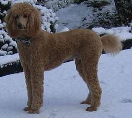 Elegant Poodles - Dog Breeders