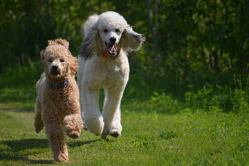 Mapleview Poodles - Dog Breeders