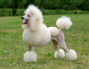 Country Haven Standard Poodles - Dog Breeders