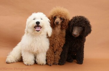 Just A Walk Home Breeder Of Rare Parti Multigen Labradoodles. All Sizes Available - Dog Breeders