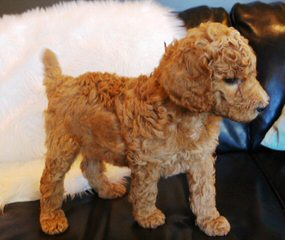 My Royal Puppies Toy & Standard Poodles - Dog Breeders