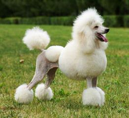 Mt. Hope Standard Poodles - Dog Breeders