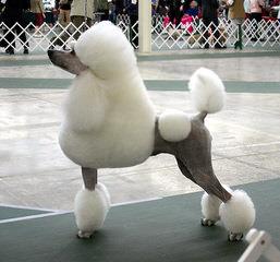 Standard Poodle - Dog Breeders