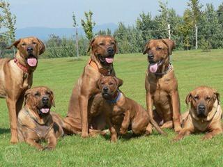 California Tosa Inu - Dog Breeders