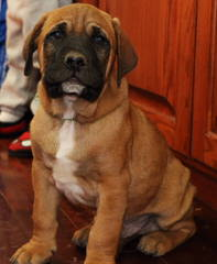Tosa Inu Czech Kennel - Dog Breeders