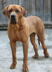 Endless Devotion Tosa inu kennel - Dog Breeders