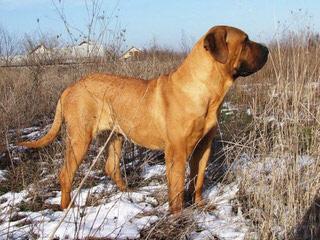 Red Dragon Kennel – Neapolitan Mastiff & Tosa Inu & Dosa Korean Mastiff - Dog Breeders