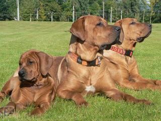 Shaku - Dog Breeders