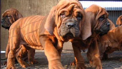 Nihon Koku Tosa's - Dog Breeders