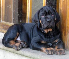 Tosa Inu - Dog Breeders