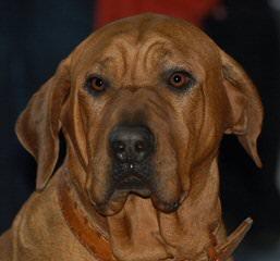 Malizi Doghouse Tosa inu - Dog Breeders