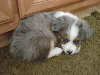 Kidd's Toy Aussies - Dog Breeders