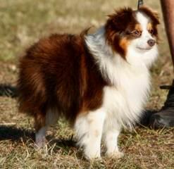 Toy Australian Shepherd - Dog Breeders