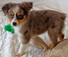 Circle K Farms toy and mini aussies - Dog Breeders