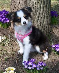 Crooked Creek Mini & Toy Aussies - Dog Breeders