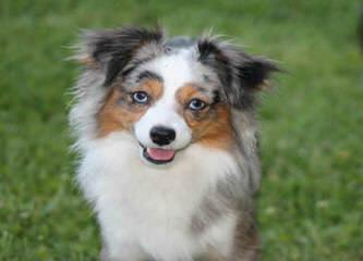 Justa Little Aussie - Dog Breeders