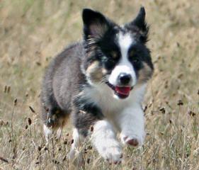 Rb's Weeaussies - Dog Breeders