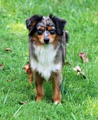 MarLoWin Aussies - Dog Breeders