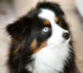 Cohea's Toy Australian Shepherd's - Dog Breeders