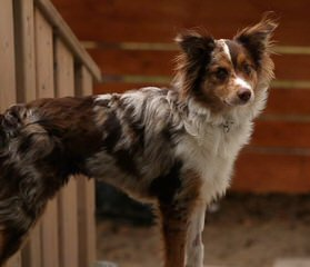 Aussies In Motion - Dog Breeders