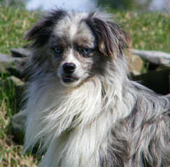 Toy And Mini Aussie Puppies For Sale. - Dog Breeders