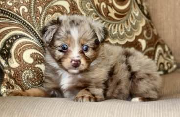 Cohea's Toy Australian Shepherd's - Dog Breeders
