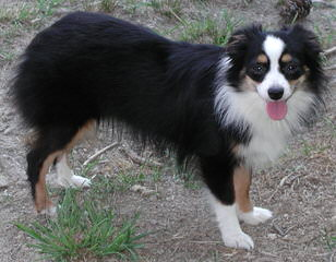 Cowboy Heaven Mini Aussies - Dog Breeders