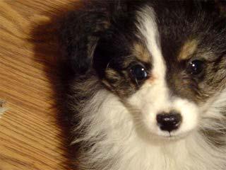 Crooked Creek Mini & Toy Aussies - Dog Breeders