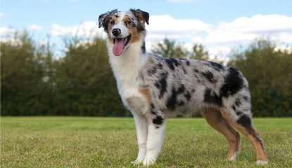 Magical Toy Aussies - Dog Breeders