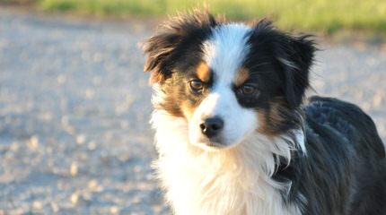 Montana Cowboy Justin's Toy Aussies - Dog Breeders