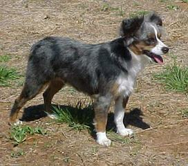 MarLoWin Aussies - Dog Breeders