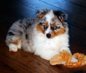 Magical Toy Aussies - Dog and Puppy Pictures