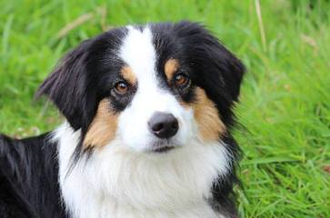 Fullerton Toy Aussies - Dog Breeders