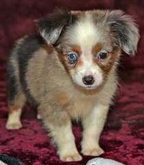 Gordonview Mini/Toy Aussies - Dog Breeders