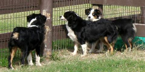 Tanglewood\'s Aussies - Dog Breeders