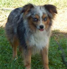 Texas Ti Aussies – Toy & Mini - Dog Breeders