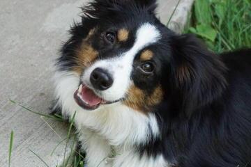 Yorton's Lil Aussies - Dog Breeders