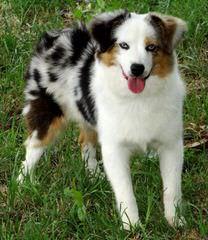 Twin Ridge Kennel/Brackins - Dog Breeders