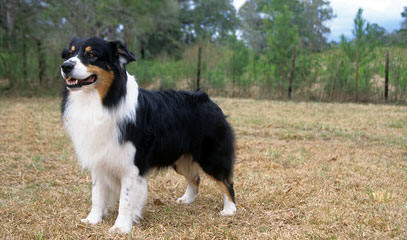 Boot Top Aussies - Dog Breeders