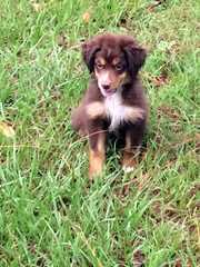Boot Top Aussies - Dog Breeders