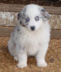 Tanglewood\'s Aussies - Dog Breeders