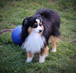 Unleashed Toy Australian Shepherd - Dog Breeders
