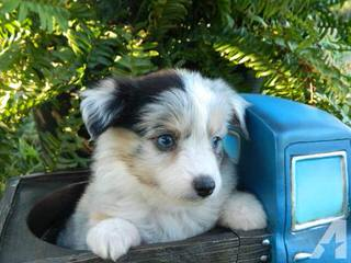 True Blue Toy Australian Shepherds - Dog Breeders