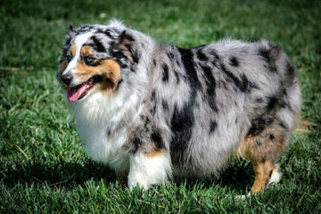 Montana Cowboy Justin's Toy Aussies - Dog Breeders