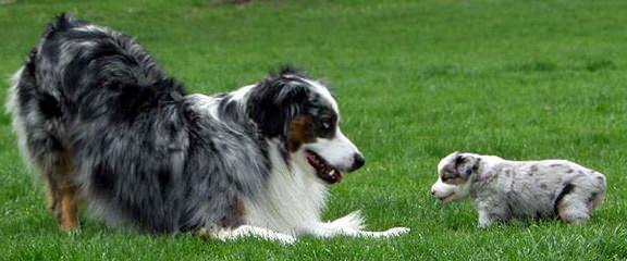 True Blue Toy Australian Shepherds - Dog Breeders