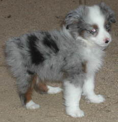 Cowboy Heaven Mini Aussies - Dog Breeders