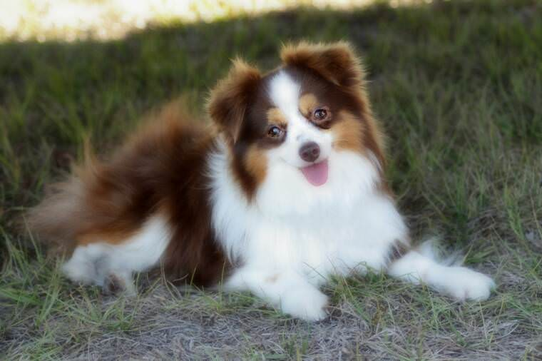 Toy Australian Shepherd Dogs and Puppies